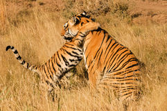 Tiger with her cub stock photography