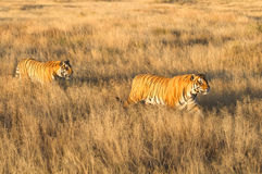 Tiger with her cub. Wild Tiger mother with cub Royalty Free Stock Photos