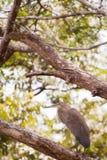 Tiger Heron Royalty Free Stock Photos
