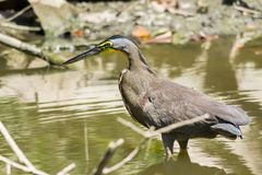 Tiger Heron. Bare-throated tiger heron wading in shallow water of a lagoon in Nicoya peninsula, Costa Rica Royalty Free Stock Images