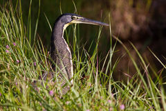 Tiger-heron bird sitting between the grass Stock Images