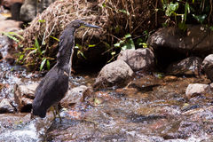 Tiger-heron bird walking in the water Stock Photography