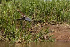 Tiger Heron Just Starting Rufescent da decollare in volo Immagine Stock