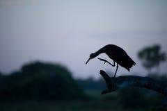 Tiger heron silhouette Stock Image