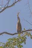 Tiger Heron in the Tropics Stock Image