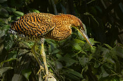 Tiger Herson. Close-up image of a tiger heron shot in Tortuguero, Costa Rica Stock Image