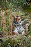 Tiger hiding in bamboo jungle. Siberian tiger Amur tiger, Panthera tigris altaica hiding in bamboo forest jungle, looking at camera Royalty Free Stock Photography