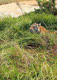 Tiger hiding in roadside bushes Royalty Free Stock Photos