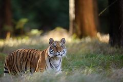 Tiger in high grass in forrest. Big cat in natural habitat. Dangerous animal. stock photos