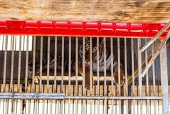 Tiger hinter Gittern Stockbilder