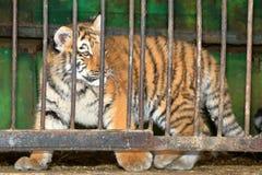 Tiger hinter Gittern in einem Zookäfig Lizenzfreie Stockbilder