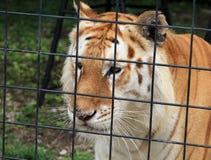 Tiger hinter Zaun Lizenzfreies Stockbild