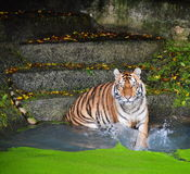Tiger hitting the water Stock Image