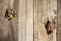 Tiger and human eye in wooden hole. Siberian tiger and human eye in wooden hole in concept of scared Stock Photos