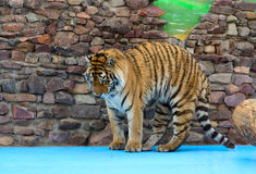 Tiger humps its back Royalty Free Stock Photos
