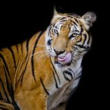 Tiger hungry. Closeup look nature animal wildlife royalty free stock images