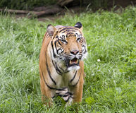Tiger on hunt. Dangerous tiger in free nature Royalty Free Stock Photos