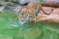 Tiger. Hunters of wild animals is alarming Stock Image