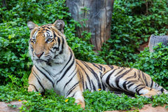 Tiger. Hunters of wild animals is alarming Royalty Free Stock Images