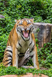 Tiger. Hunters of wild animals is alarming Stock Photo
