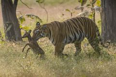 Tiger hunting the Spotted Deer Fawn. At tadoba andhari tiger reserve on a winter morning Stock Photography