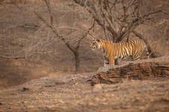 Tiger hunts Stock Photography