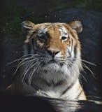 Tiger i bevattna arkivbild