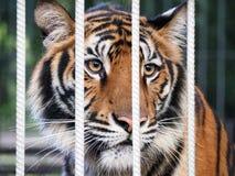 Tiger i buren Arkivfoto