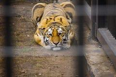 Tiger i buren fotografering för bildbyråer