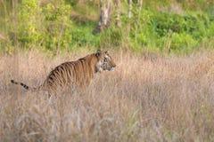 Tiger i busken Royaltyfria Bilder