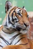 Tiger i den Prague zoo royaltyfri fotografi