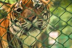 Tiger i en zoo Royaltyfri Fotografi