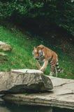 Tiger i en zoofången fotografering för bildbyråer
