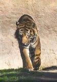Tiger i enlosure Arkivfoto