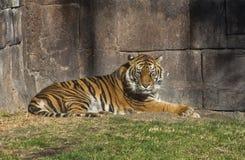 Tiger i enlosure Royaltyfria Foton