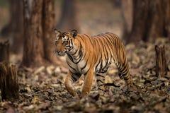 Tiger i löst av Indien royaltyfri fotografi