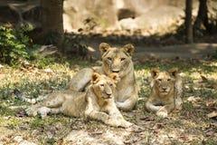 Tiger i safari Royaltyfri Fotografi