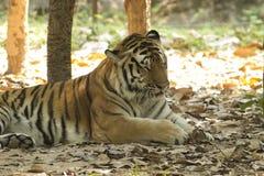 Tiger i safari Fotografering för Bildbyråer