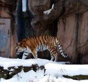 Tiger i snö Arkivfoto