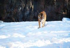 Tiger i snön Arkivfoto