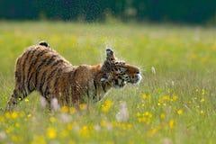 Tiger i sommar Blommig äng med tigern Tigern med knackar och gulnar, och rosa färgen blommar Siberian tiger i härlig livsmiljö Am Royaltyfria Bilder