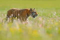 Tiger i sommar Blommig äng med tigern Tigern med knackar och gulnar, och rosa färgen blommar Siberian tiger i härlig livsmiljö Am Royaltyfri Fotografi