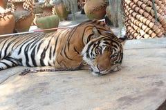 Tiger i tropiska trädgårds- Nong Nooch Royaltyfria Bilder