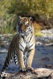 Tiger i vatten Royaltyfria Bilder