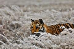 Tiger i vinter arkivbild