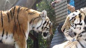 Tiger i zoo royaltyfri foto