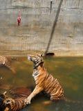 Tiger i zoo Arkivbild