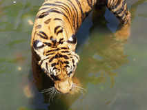 Tiger i zoo Arkivfoton
