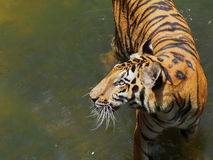 Tiger i zoo Arkivfoto