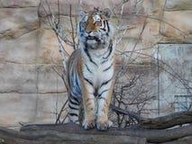 Tiger i ZOO, Tjeckien för Hlubokà ¡ nad Vltavou royaltyfri fotografi